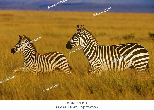 Plains Zebra with Young (Equus burchelli), Maasai Mara, Kenya
