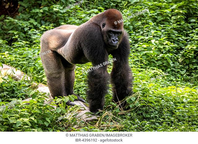 Western lowland gorilla (Gorilla gorilla gorilla), male in enclosure, captive, Primate Sanctuary, Limbe, Southwest Region, Cameroon