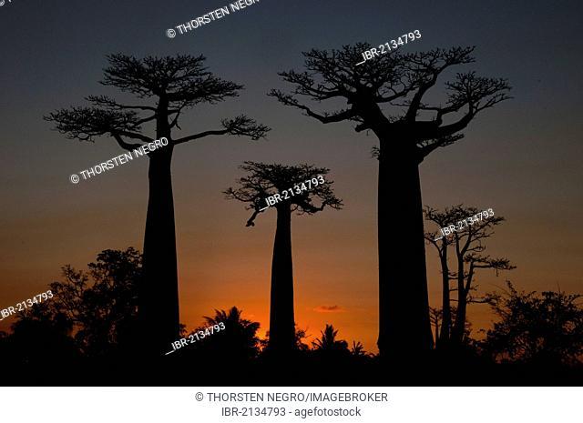 African Baobab tree (baobab), baobab-alley at sunset, Madagascar, Africa