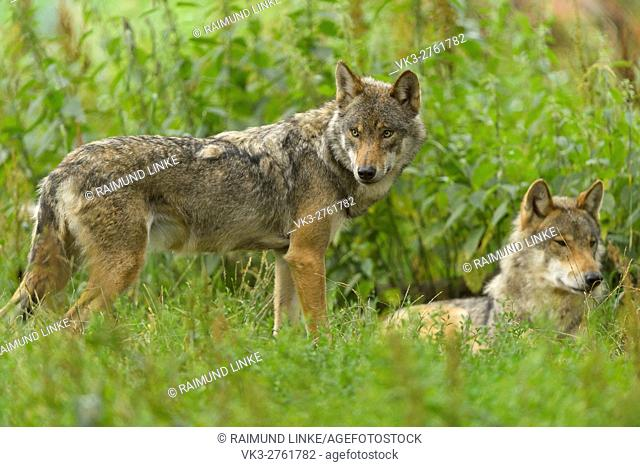 European Gray Wolf, Canis lupus lupus, two Wolves, Germany