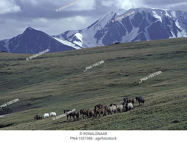 Horses in between the mountains of the Mongolian Altai, on the border with the Russian Federation