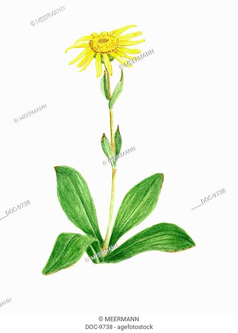 Arnica - Plants with a blossom