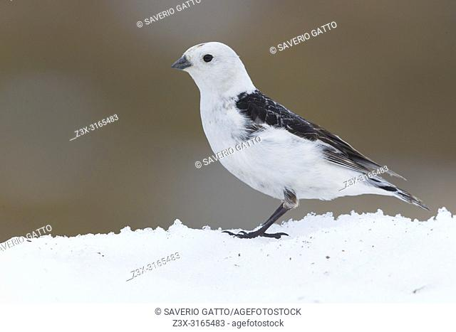 Snow Bunting (Plectrophenax nivalis), adult standing on the snow