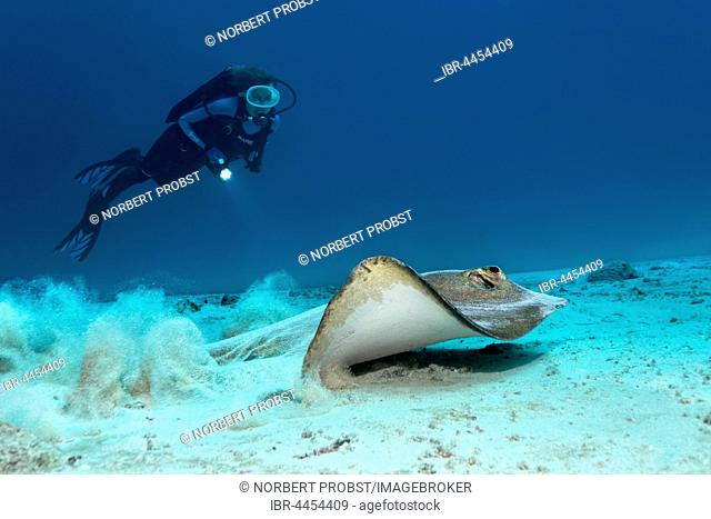 Cowtail stingray (pastinachus Sephen), swimming on sandy ocean floor, diver observing, Lhaviyani Atoll, Maldives
