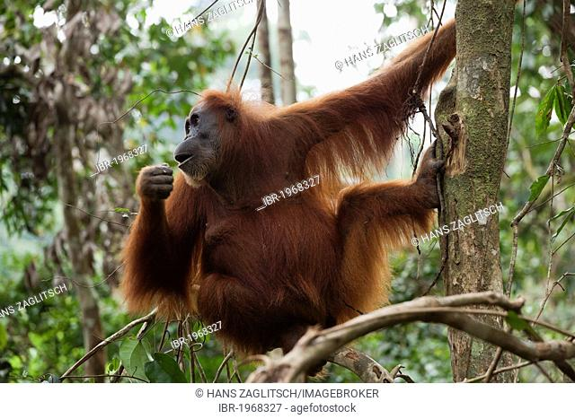 Sumatran orangutan (Pongo abelii) in the rain forests of Sumatra, Indonesia, Asia