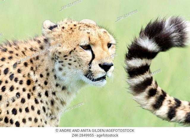 Cheetah (Acinonix jubatus) portrait and tail, Maasai Mara National Reserve, Kenya