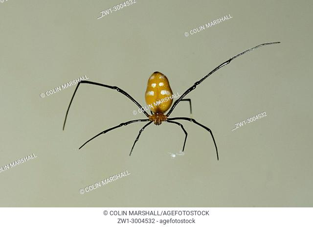 Red Silver Spider (Argyrodes miniaceus), Klungkung, Bali, Indonesia