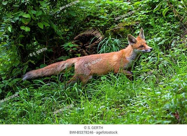 red fox (Vulpes vulpes), young red fox on the feed in a meadow in forest, Switzerland, Sankt Gallen