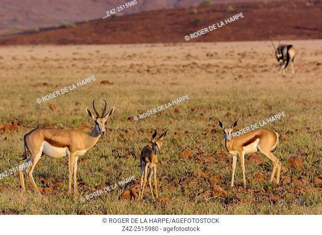 Springbok (Antidorcas marsupialis). Desert Rhino Camp. Palmwag Concession. Namibia