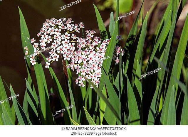 Darmera peltata, indian rhubarb or umbrella plant, blooming on the brook bank between the leaves yellow irises