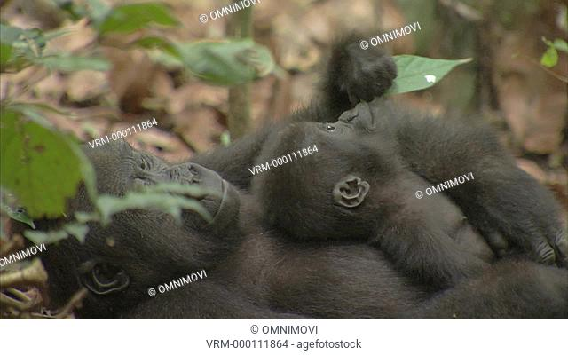Baby Western Lowland Gorilla and other Western Lowland Gorilla laying on forest floor