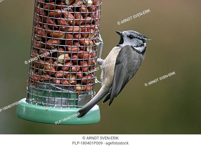 European crested tit (Lophophanes cristatus / Parus cristatus) eating peanuts from garden bird feeder