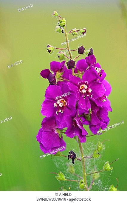 purple mullein, ornamental mullein Verbascum phoeniceum, inflorescence, Austria, Burgenland, NP Neusiedler See