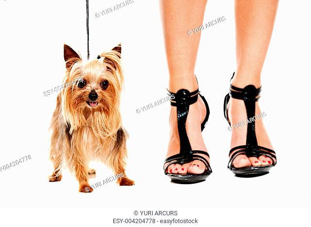 Closeup of a Yorkshire terrier standing next a woman wearing high heels
