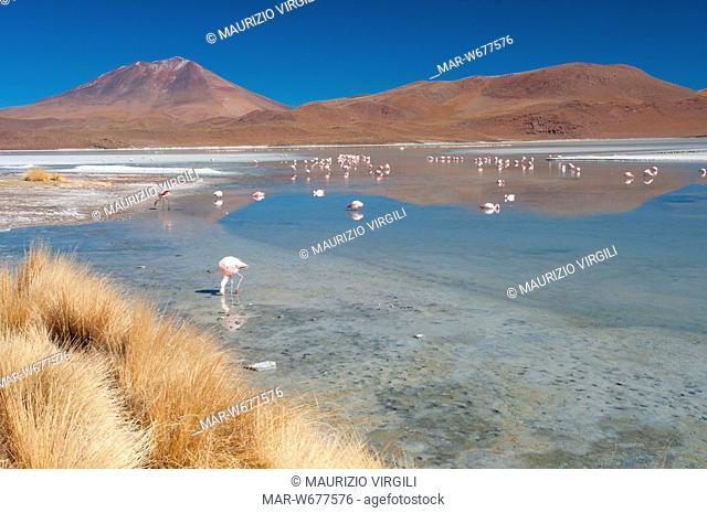 laguna hedionda, fenicotteri, riserva eduardo avaroa, los lipez, altopiano, bolivia, america del sud