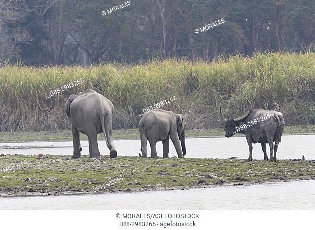 India, State of Assam, Kaziranga National Park, Asian or Asiatic elephant (Elephas maximus)