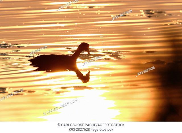 Focha Común (fulica atra) fotografiada en un humnedal español