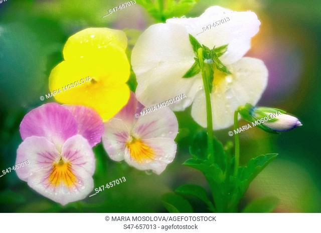 Pansy Flowers. Viola x wittrockiana. June 2006, Maryland, USA