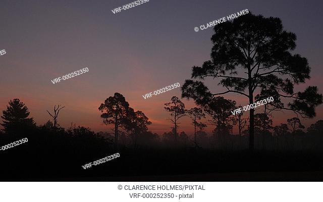 The rising sun adds color to the sky during morning twilight over silhouetted longleaf pine trees in Highlands Hammock State Park
