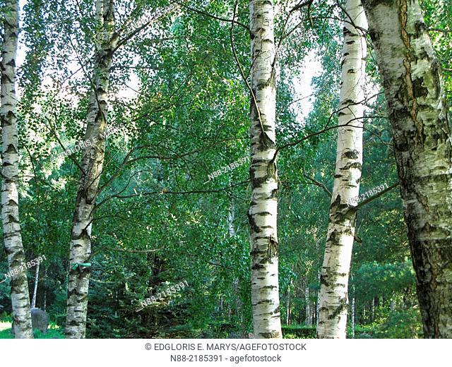 Betula pendula silver birch tree landscape, Park of Stones, Minsk, Belarus