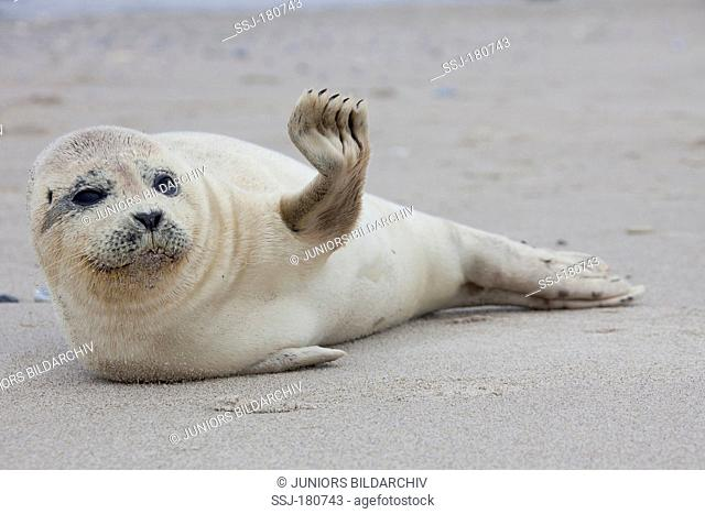 Common Seal, Harbour Seal (Phoca vitulina vitulina), pup resting on a beach of the duene, Helgoland. North Sea, Germany