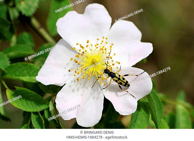 France, Haut Rhin, Rouffach, limestone hill, Leptura maculata adult on wild rose (Rosa sp)