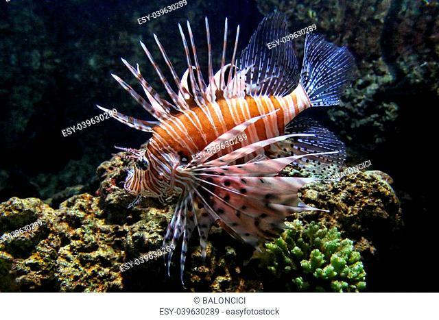 Venomous and dangerous Pterois lionfish near corals