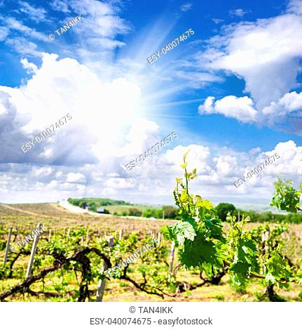 Mountain vineyard landscape in the Crimea