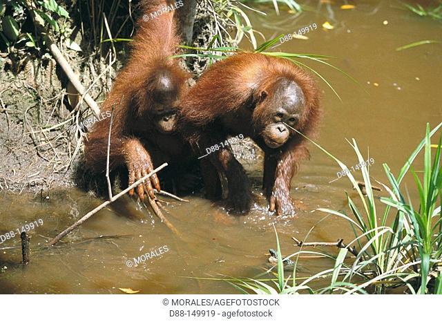 Bornean Orangutan (Pongo pygmaeus). Borneo