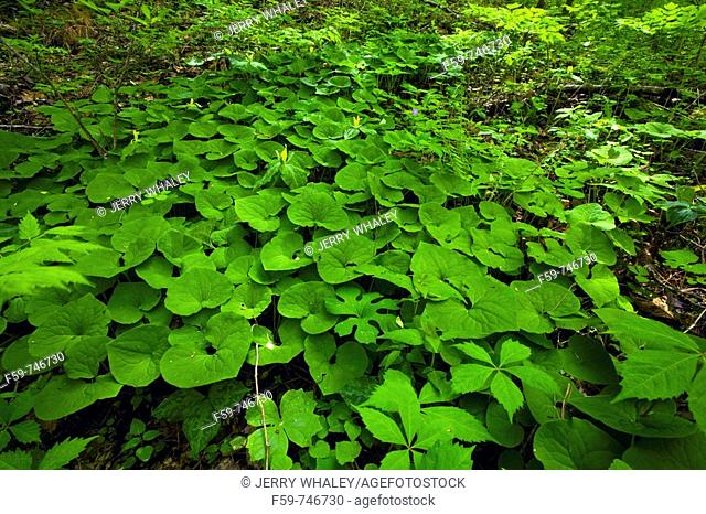 Wild Ginger, Spring, Great Smoky Mountains National Park, TN, USA