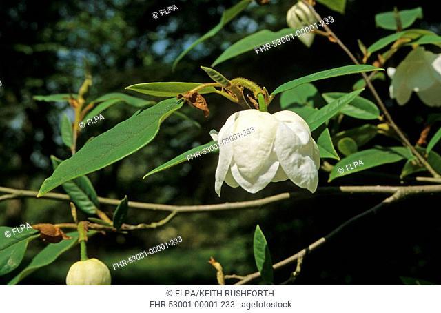 Magnolia wilsonii With flower