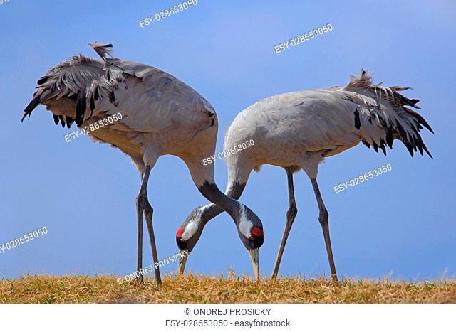 Common Crane, Grus grus, feeding grass