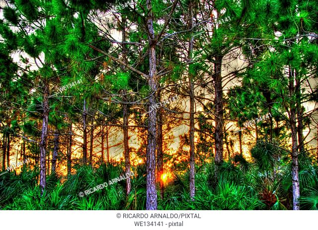 Sunset in a rocky pineland's protected forest, Redland, Florida