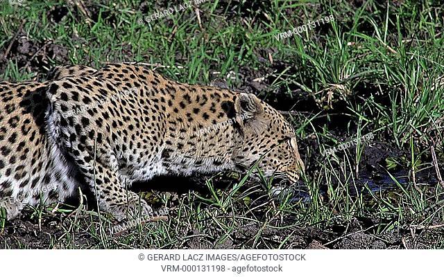 Leopard, panthera pardus, Adult drinking Water, Moremi Reserve, Okavango Delta in Botswana, Slow Motion