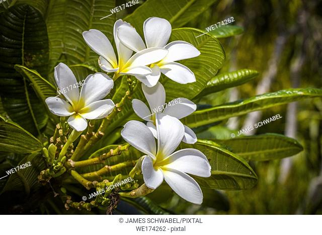 Closeup of white with yellow centers Plumeria flowers also known as Lei flowers or Frangipani