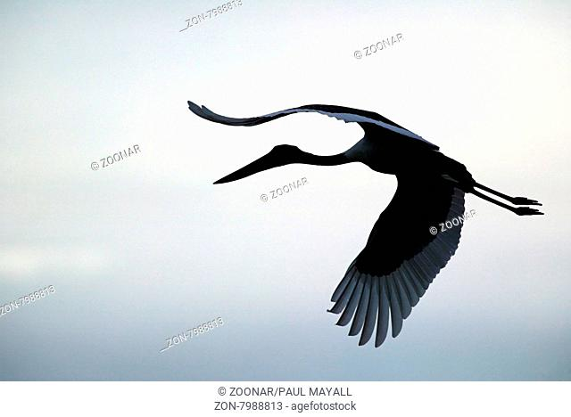 Silhouette of a Black Necked Stork , Jabiru ( Ephippiorhynchus asiaticus ) in Flight over Kakadu National Park, Northern territory, Australia