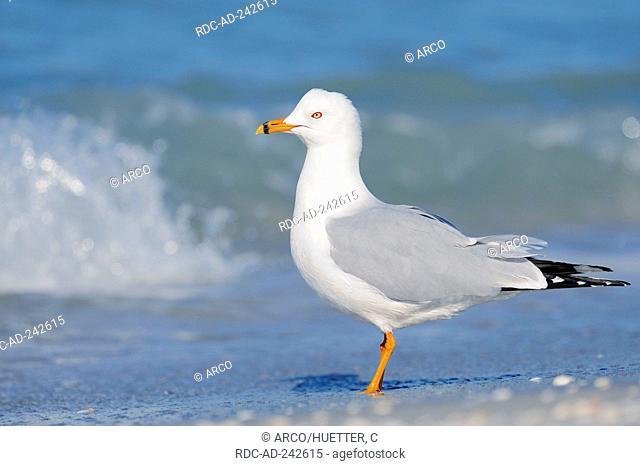 Ring-billed Gull Sanibel Island Florida USA Larus delawarensis side