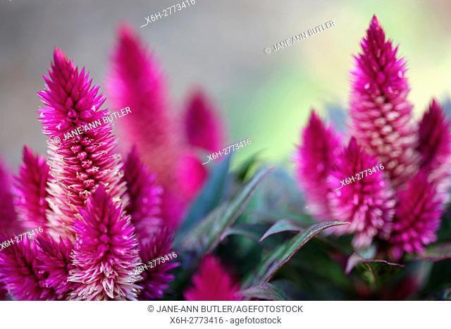 pink celosia argentea, plumed cockscomb - summer flowering annual plant