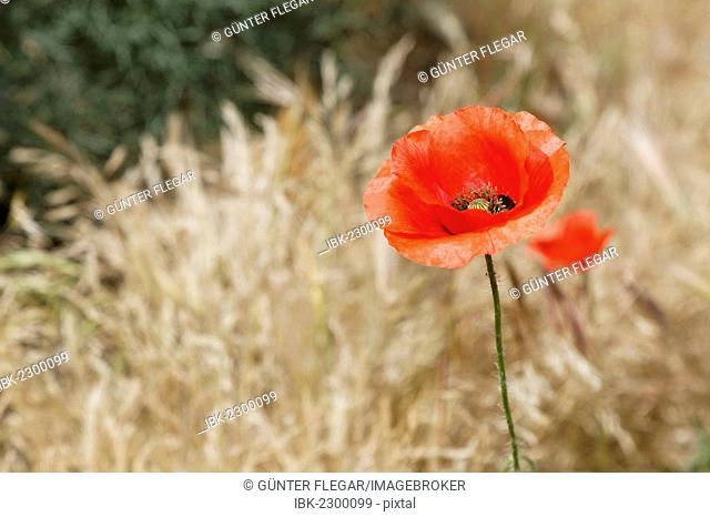 Poppy flower (Papaver rhoeas), Ifrane, Meknès-Tafilalet, Morocco, North Africa, Maghreb, Africa