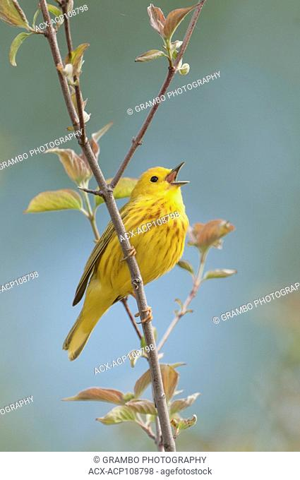 Yellow Warbler, Dendroica petechia, singing in spring, Point Pelee National Park, Ontario, Canada