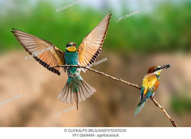 bee-eater in flight with prey, Trentino Alto-Adige, Italy