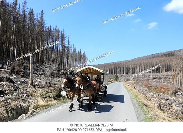 18 April 2019, Saxony-Anhalt, Wernigerode: A horse-drawn carriage drives without tourists along the Brockenstraße in the Harz towards Schierke