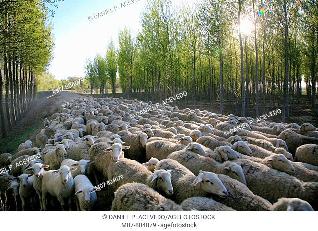 Sheep and river wood in Navarra, Spain