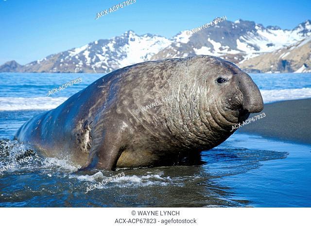 Southern elephant seal (Mirounga leonina) bull coming ashore, St. Andrews Bay, Island of South Georgia, Antarctica