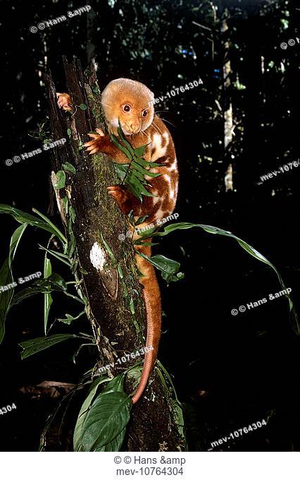 SPOTTED CUSCUS IN TREE (Spilocuscus maculatus)