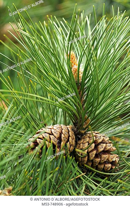 Branch of European black pine (Pinus nigra) with cones. Austria