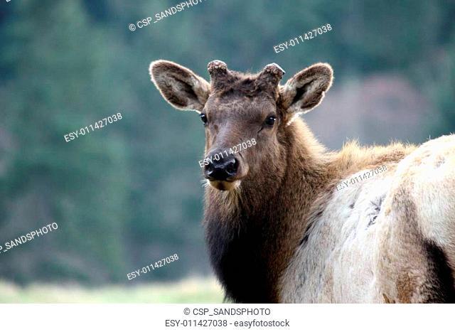 Elk. Photo taken at Northwest Trek Wildlife Park, WA