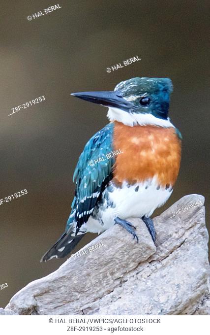 American Pygmy Kingfisher (Chloroceryle aenea) Pantanal, Brazil