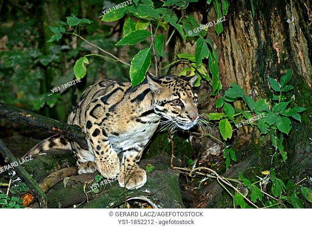 Clouded Leopard, neofelis nebulosa, Adult standing in Tree