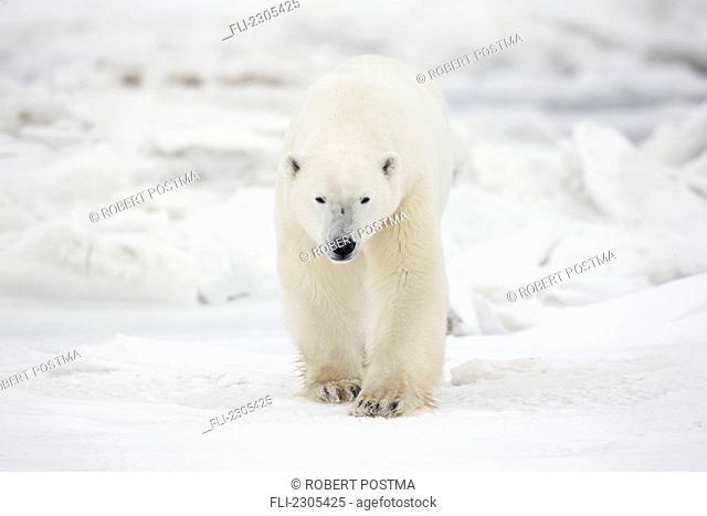 Polar Bear Walking Through The Snow And Ice;Churchill Manitoba Canada